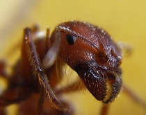 Ant_head_closeup